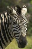 Retrato de uma zebra Imagens de Stock Royalty Free