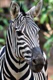 Retrato de uma zebra africana Fotografia de Stock Royalty Free