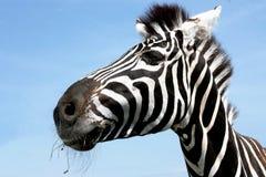 Retrato de uma zebra com bonito ascendente próximo do focinho Fotos de Stock