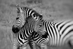 Retrato de uma zebra no parque nacional África do Sul do kruger Imagens de Stock