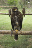 Retrato de un águila Fotografía de archivo