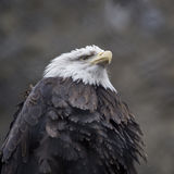 Retrato de un águila calva Imagen de archivo