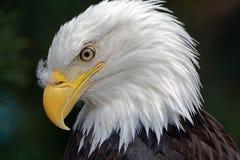 Retrato de un águila calva Foto de archivo libre de regalías