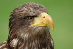 Retrato de un águila de mar Imagen de archivo libre de regalías