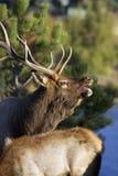 Retrato de un alce Bugling de Bull Foto de archivo libre de regalías
