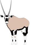 Retrato de un antílope del gazella del gemsbok o del oryx, corriendo Fotografía de archivo libre de regalías