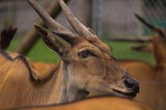 Retrato de un antílope en el parque zoológico imagenes de archivo