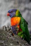 Retrato de un arco iris Lorikeet, Sunbury, Victoria, Australia, septiembre de 2016 Imagen de archivo libre de regalías