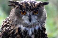 Retrato de un búho de águila Fotos de archivo libres de regalías