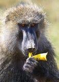 Retrato de un babuino adulto Imagen de archivo libre de regalías