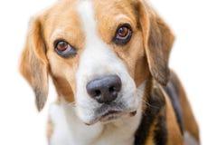 Retrato de un beagle delante del fondo blanco imagen de archivo libre de regalías