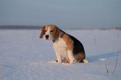 Retrato de un beagle en la nieve Fotografía de archivo
