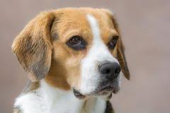 Retrato de un beagle joven detalladamente foto de archivo libre de regalías