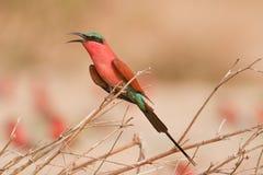 Retrato de un bee-eater en África meridional. Fotos de archivo