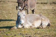 Retrato de un burro Fotos de archivo libres de regalías