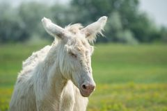 Retrato de un burro soñoliento blanco fotos de archivo libres de regalías