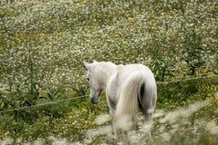 Retrato de un caballo: caballo árabe hermoso, de la hembra, blanco o gris en casa de campo Vida de la granja fotos de archivo