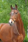 Retrato de un caballo Foto de archivo libre de regalías