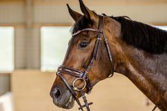 Retrato de un caballo de bahía en un freno foto de archivo