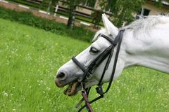 Retrato de un caballo blanco Fotografía de archivo libre de regalías