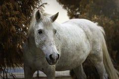 Retrato de un caballo blanco en un jardín en otoño foto de archivo