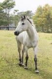 Retrato de un caballo blanco hermoso imagenes de archivo