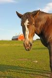 Retrato de un caballo con un granero en el fondo foto de archivo libre de regalías