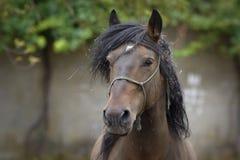 Retrato de un caballo criado en línea pura gallego del semental con el pelo sucio foto de archivo