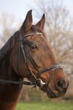 Retrato de un caballo de bahía furioso de la raza de la estrella del norte Foto de archivo libre de regalías