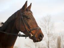 Retrato de un caballo de bahía furioso de la raza de la estrella del norte Imagen de archivo libre de regalías