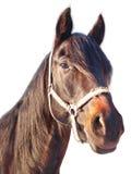 Retrato de un caballo de la castaña Fotografía de archivo libre de regalías