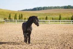 Retrato de un caballo del frisian Imagen de archivo