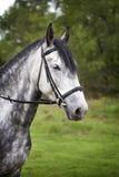 Retrato de un caballo en un paseo Foto de archivo libre de regalías