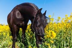 Retrato de un caballo frisio Fotos de archivo libres de regalías