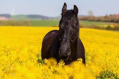 Retrato de un caballo frisio Imagenes de archivo