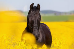 Retrato de un caballo frisio Foto de archivo
