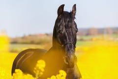 Retrato de un caballo frisio Foto de archivo libre de regalías