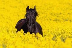 Retrato de un caballo frisio Fotos de archivo