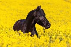 Retrato de un caballo frisio Fotografía de archivo libre de regalías