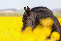 Retrato de un caballo frisio Fotografía de archivo