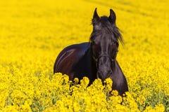 Retrato de un caballo frisio Imagen de archivo libre de regalías