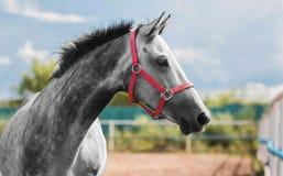Retrato de un caballo gris joven en un freno rojo que se coloca en un campo imagen de archivo