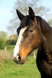 Retrato de un caballo marrón Imagenes de archivo
