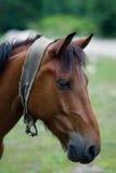 Retrato de un caballo marrón Imágenes de archivo libres de regalías