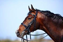 Retrato de un caballo marrón de los deportes. Fotografía de archivo