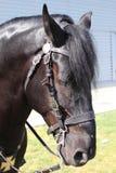 Retrato de un caballo negro Imágenes de archivo libres de regalías