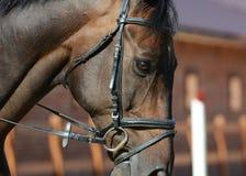 Retrato de un caballo oscuro del deporte de la bahía en el movimiento Imagen de archivo libre de regalías
