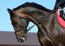Retrato de un caballo oscuro del deporte de la bahía en el movimiento Fotografía de archivo libre de regalías