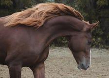 Retrato de un caballo rojo hermoso el otoño de la libertad Fotos de archivo libres de regalías