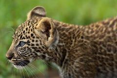 Retrato de un cachorro del leopardo, de tres meses, en Masai Mara, Kenia Imagen de archivo libre de regalías